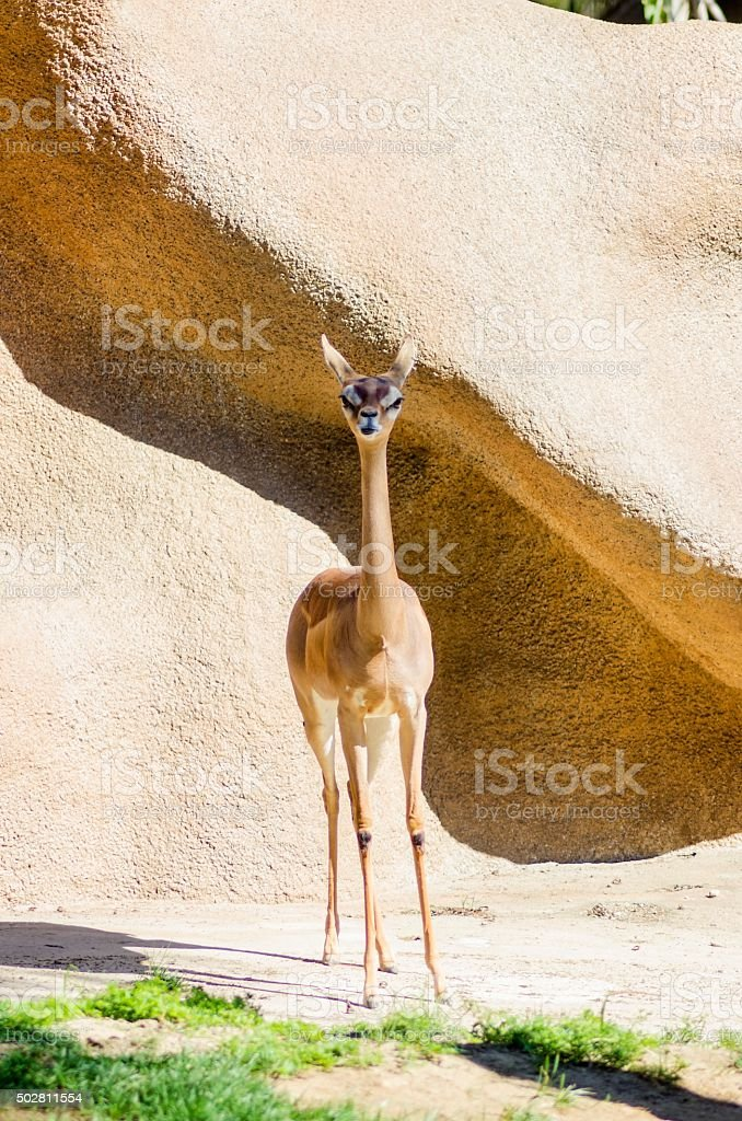 Southern Gerenuk stock photo