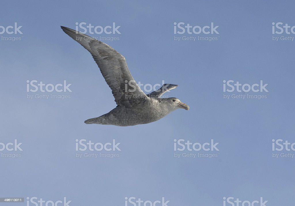 Southern giant petrel in flight in the Antarctica. stock photo