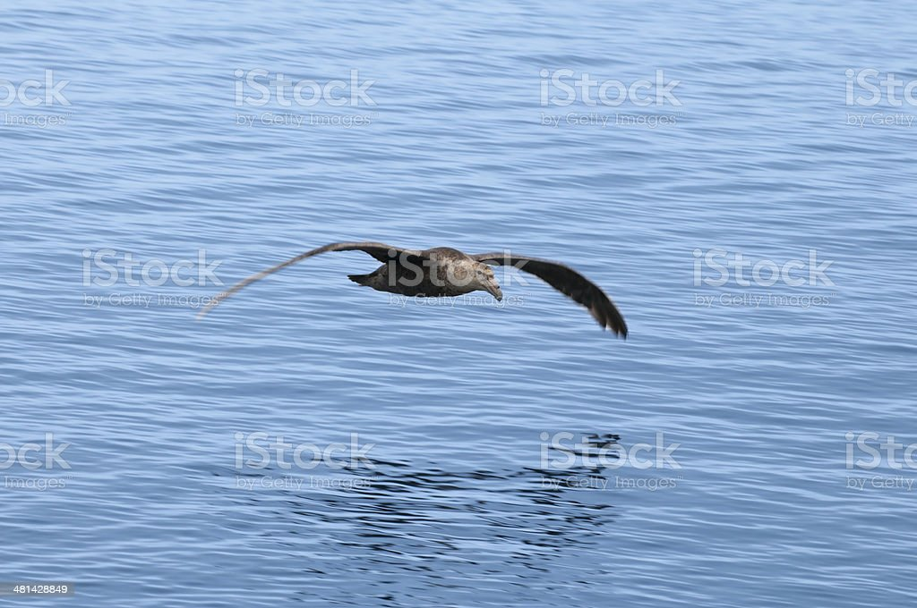 Southern Giant Petrel--Brown Bluff (Antarctica) stock photo