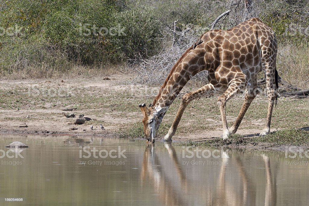Southern Giraffe drinking, South Africa royalty-free stock photo