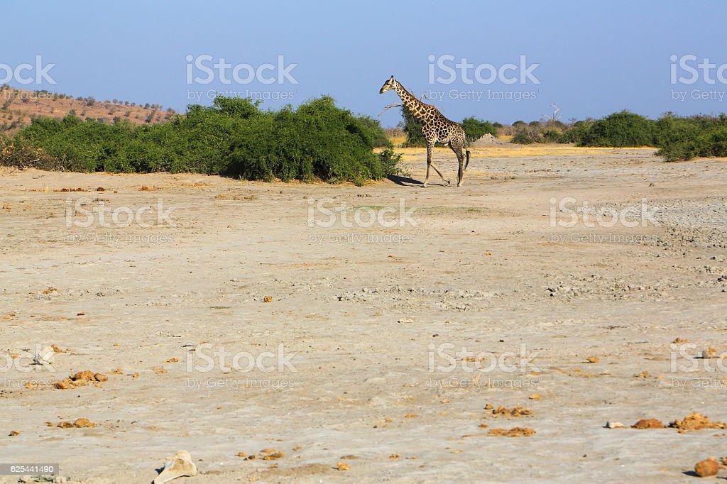Southern giraffe in Savuti, Chobe National Park, Botswana stock photo