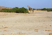 Southern giraffe in Savuti, Chobe National Park, Botswana