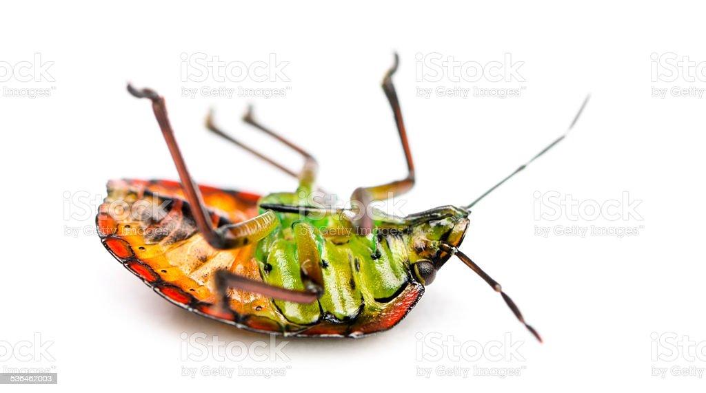 Southern green stink bug, Nezara viridula, on its back stock photo
