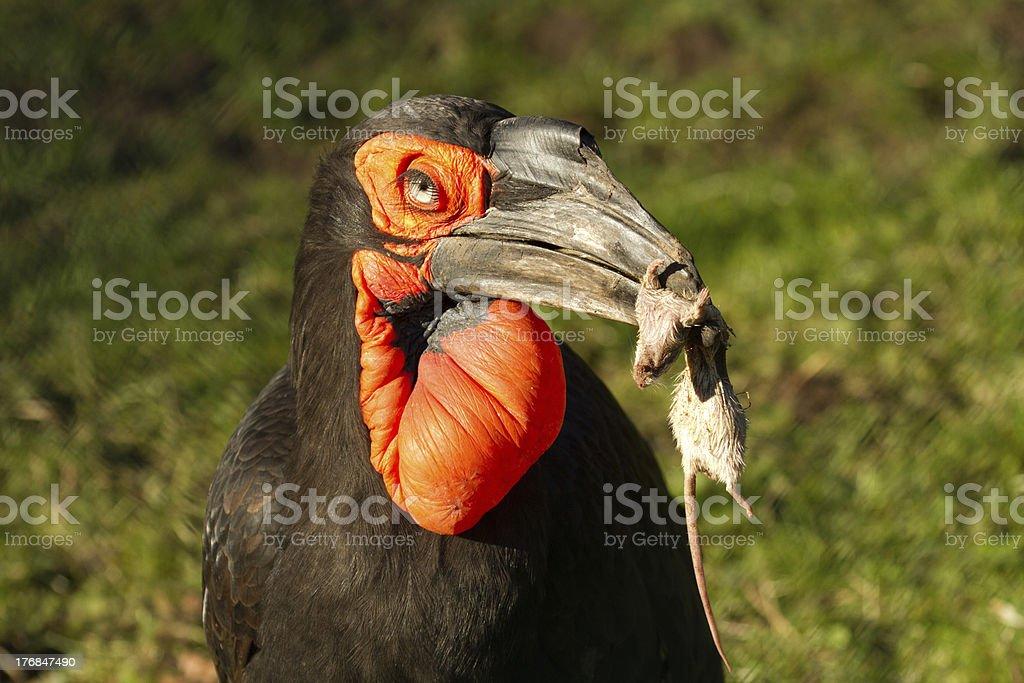 Southern Ground Hornbill stock photo