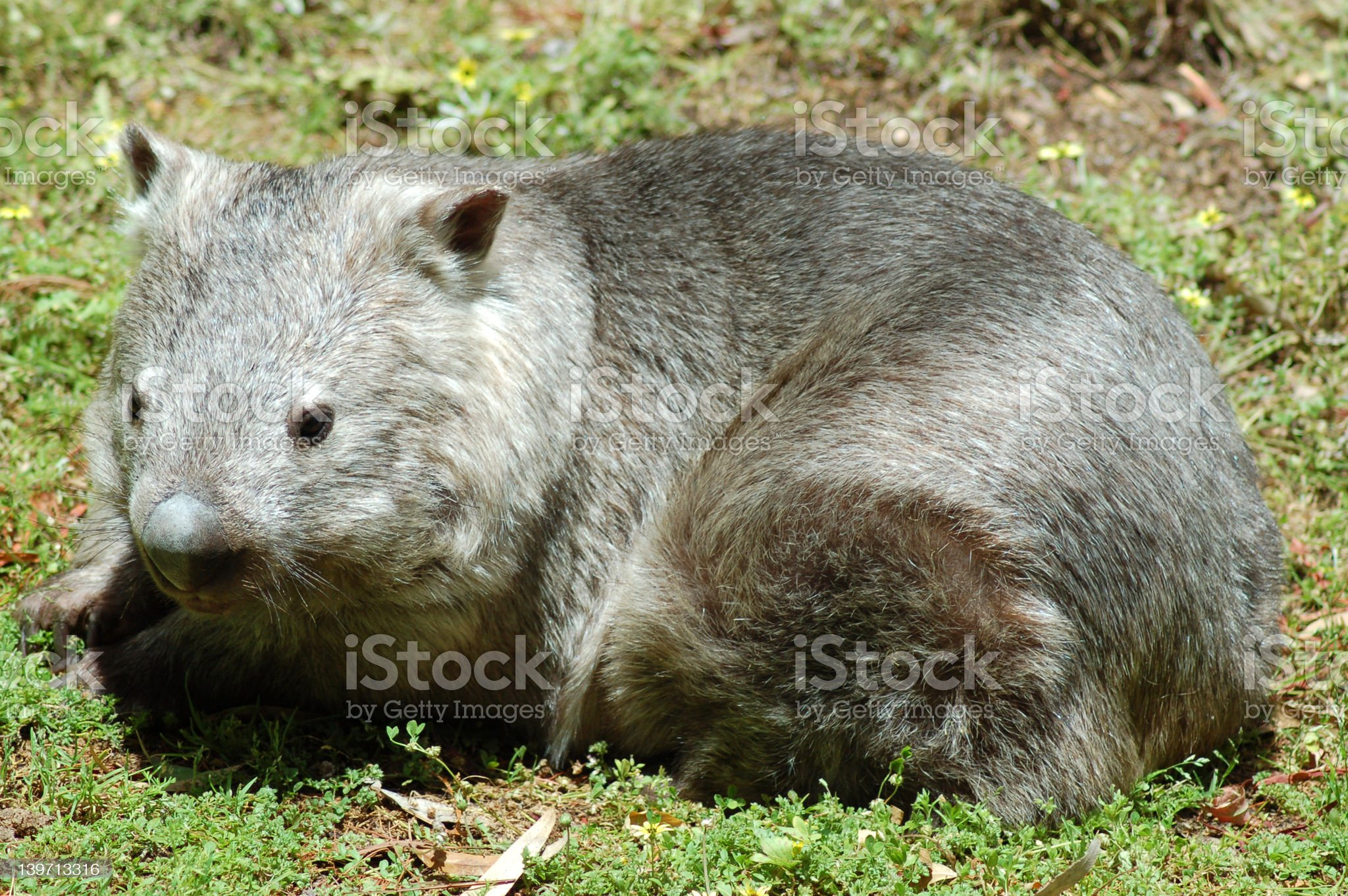 Southern Hairy Nosed Wombat royalty-free stock photo