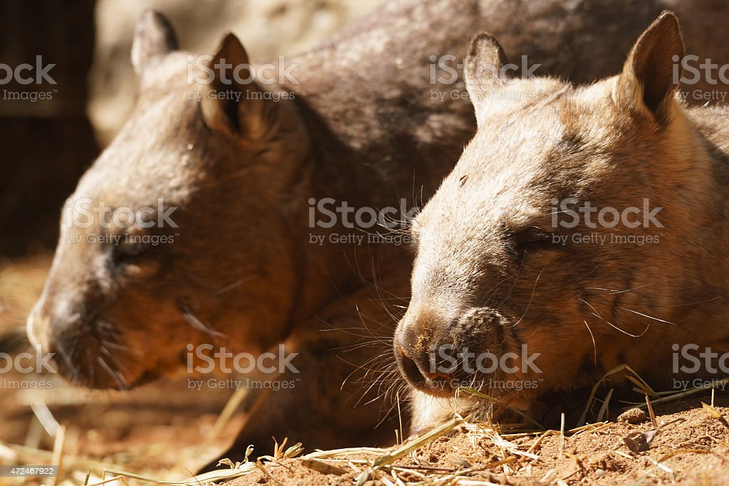 Southern hairy-nosed wombat stock photo