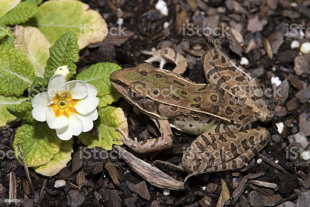 Southern Leopard Frog royalty-free stock photo