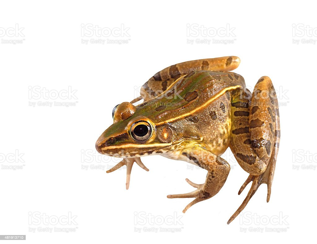 Southern Leopard Frog Seated Isolated on White stock photo