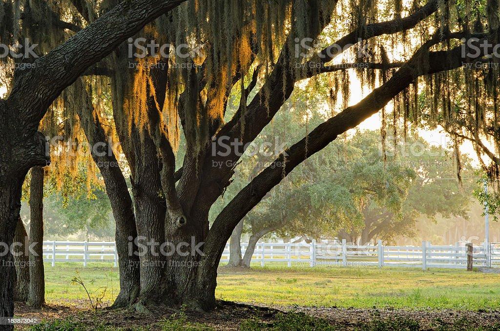 Southern Live Oak Tree Hammock royalty-free stock photo