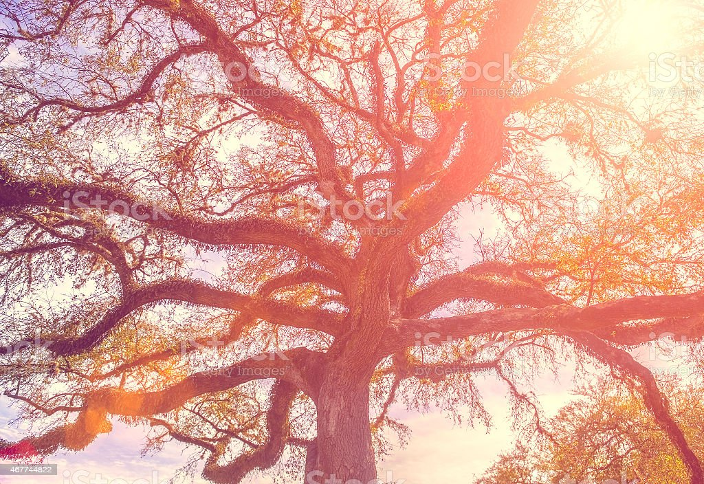 Southern live oak tree with widely spread branches, dreamy vinta stock photo