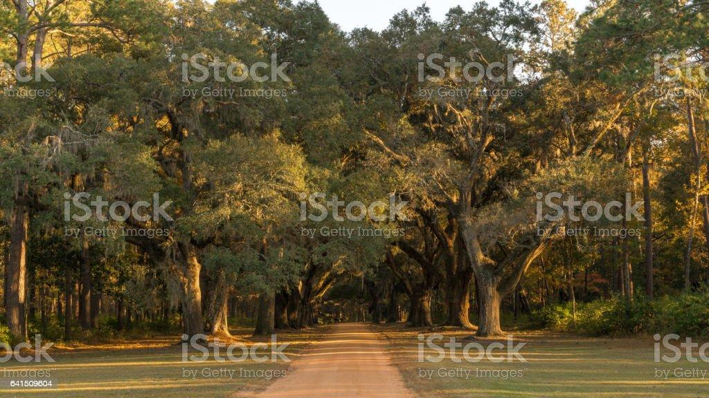 Southern Live Oaks stock photo