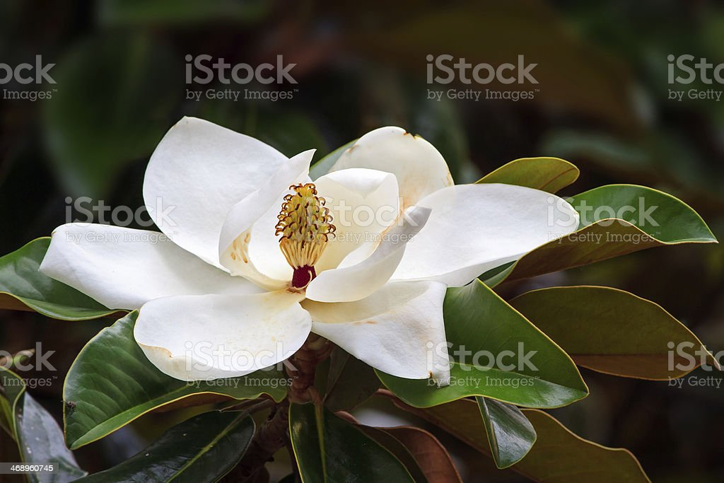 Southern Magnolia Blossom stock photo