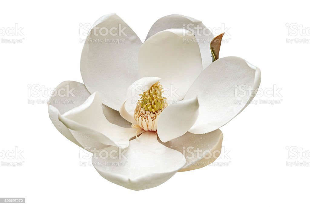 Southern magnolia flower stock photo