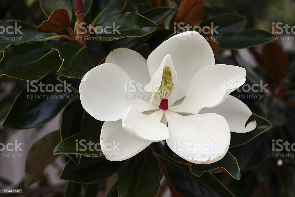 Southern Magnolia Flower royalty-free stock photo