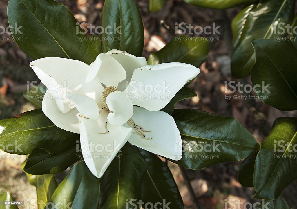 Southern Magnolia grandiflora flower royalty-free stock photo