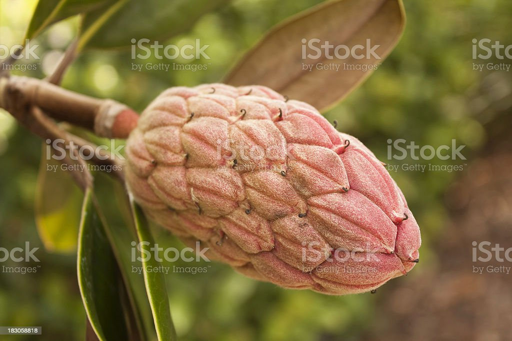 Southern Magnolia Seedpod royalty-free stock photo