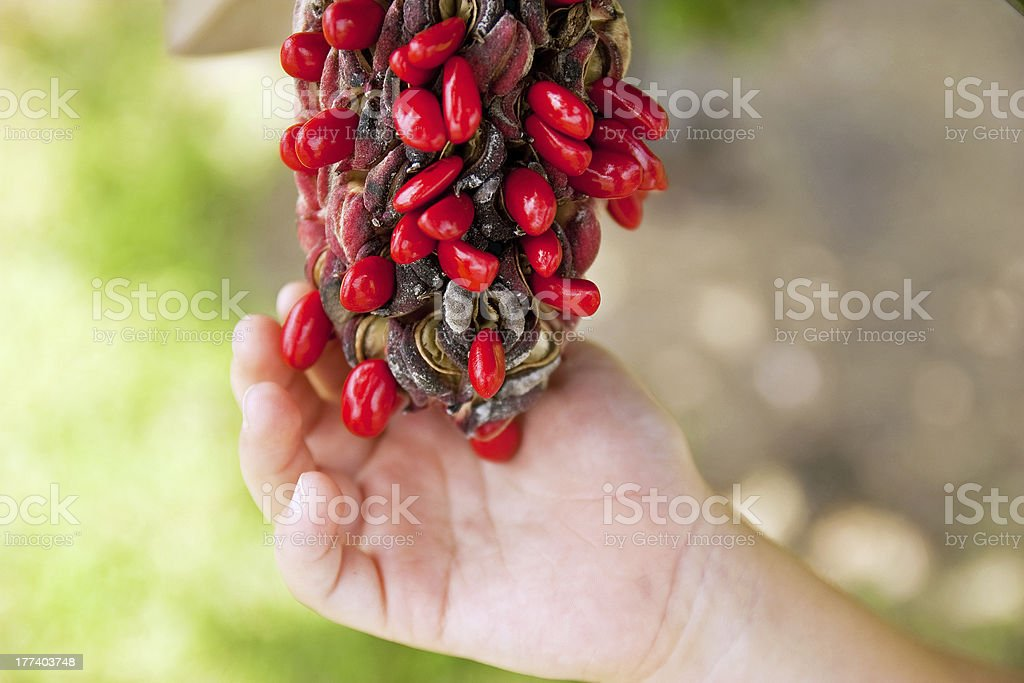 Southern Magnolia seeds royalty-free stock photo
