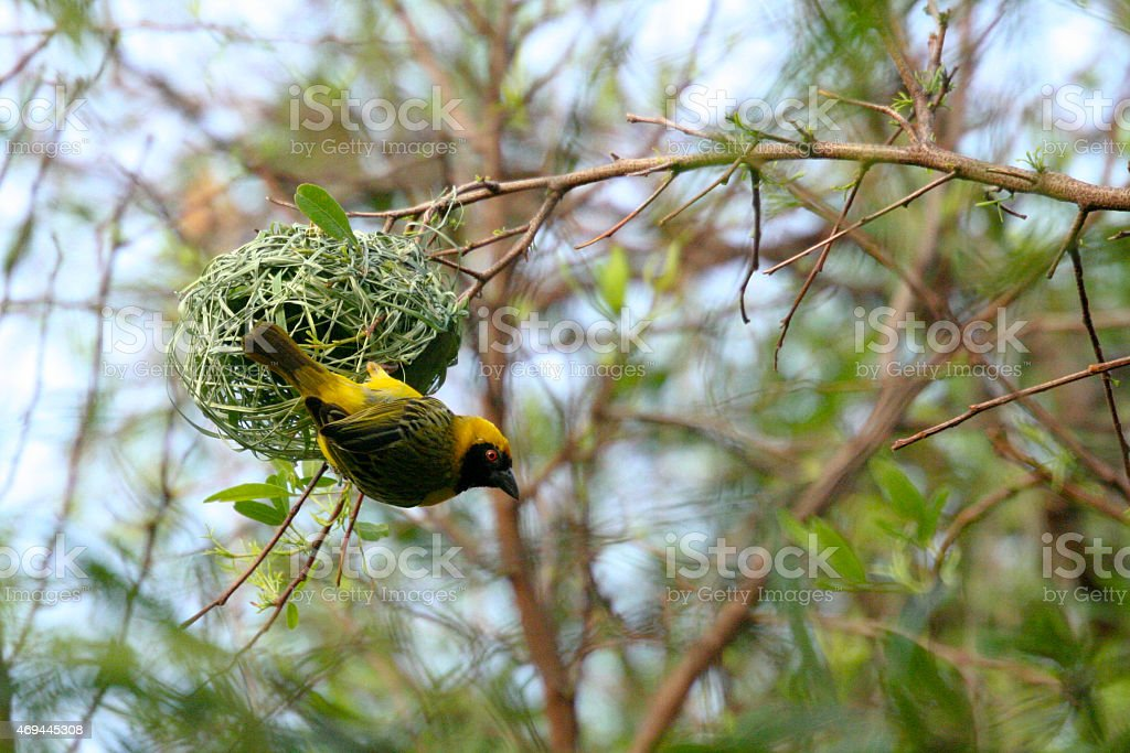 Southern Masked Weaver Guards Nest royalty-free stock photo