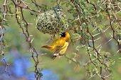 Southern Masked Weaver - Hanging onto Life