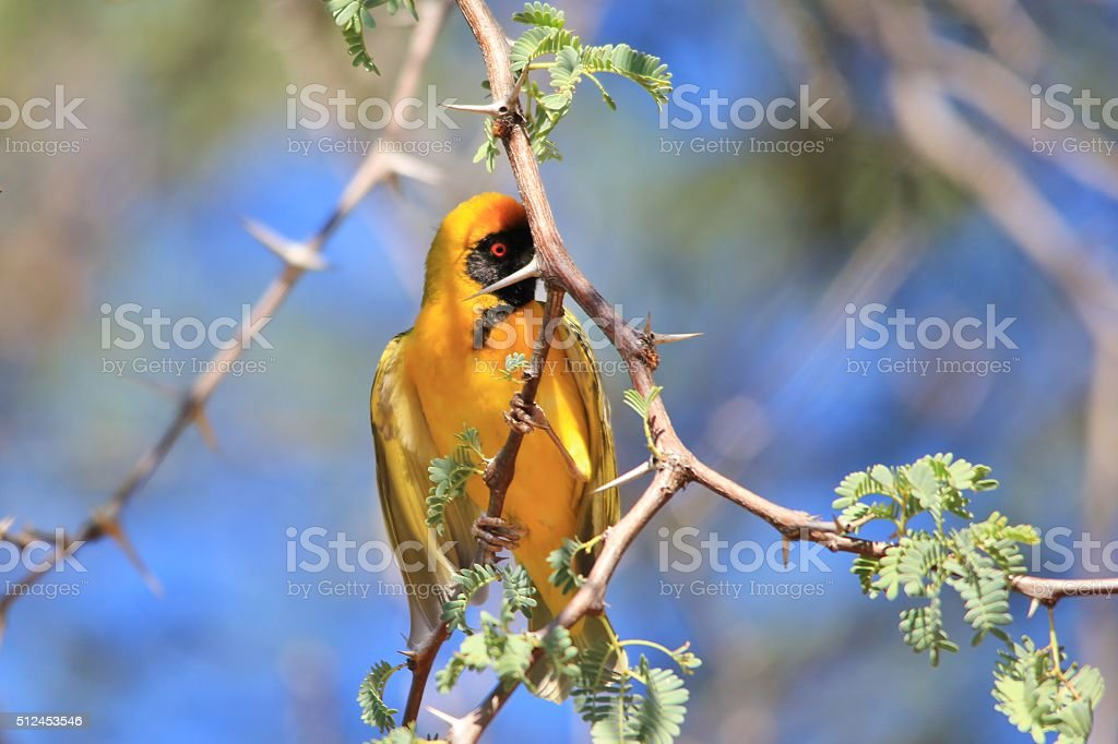 Southern Masked Weaver - Hiding and Funny Nature stock photo