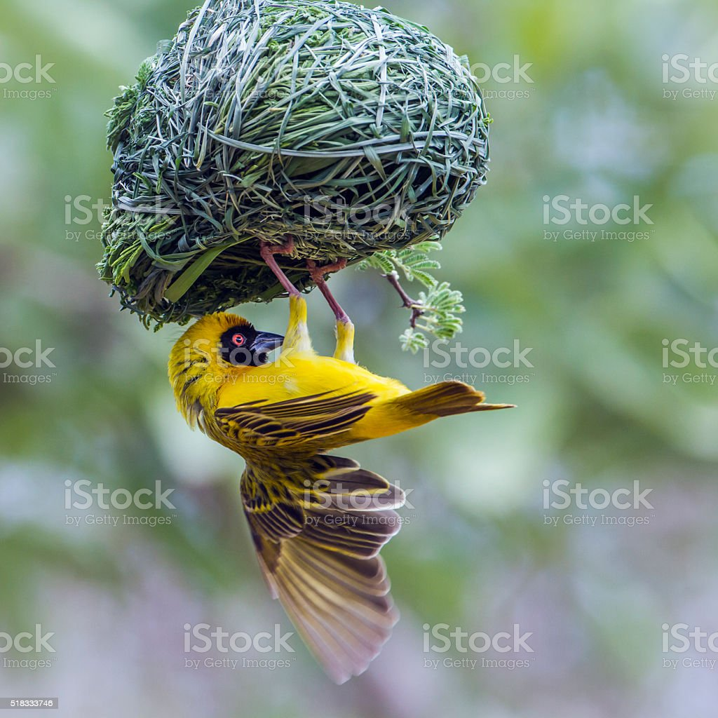 Southern Masked-Weaver in Kruger National park, South Africa stock photo