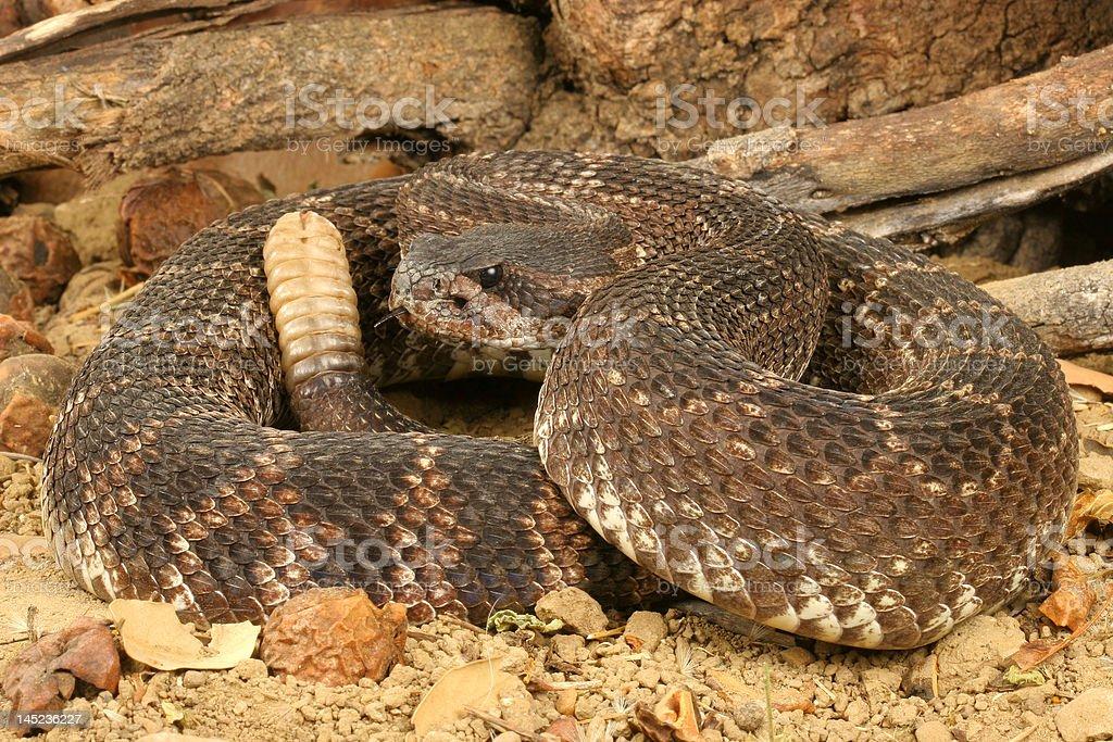 Southern Pacific Rattlesnake stock photo