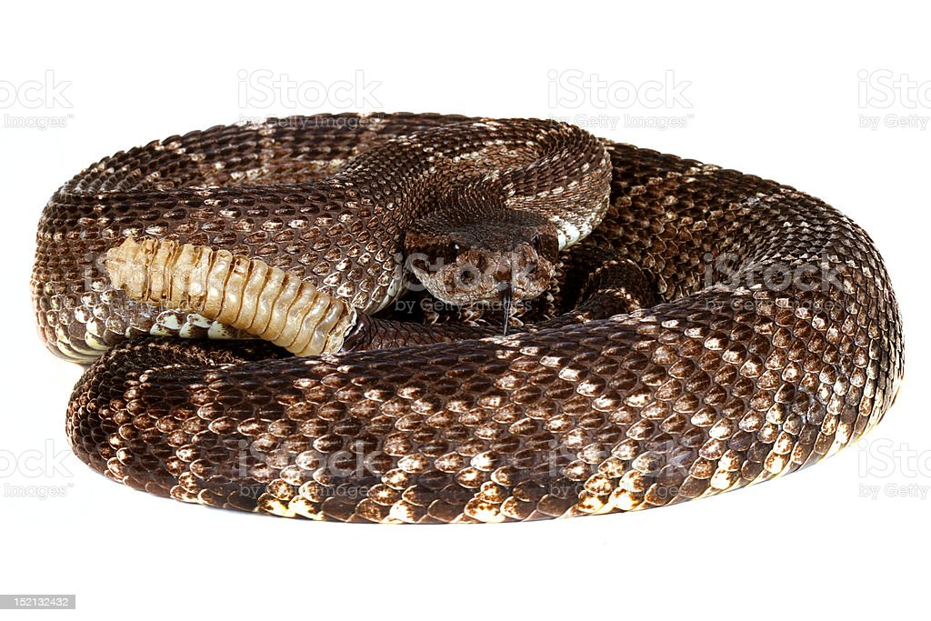 Southern Pacific Rattlesnake, stock photo