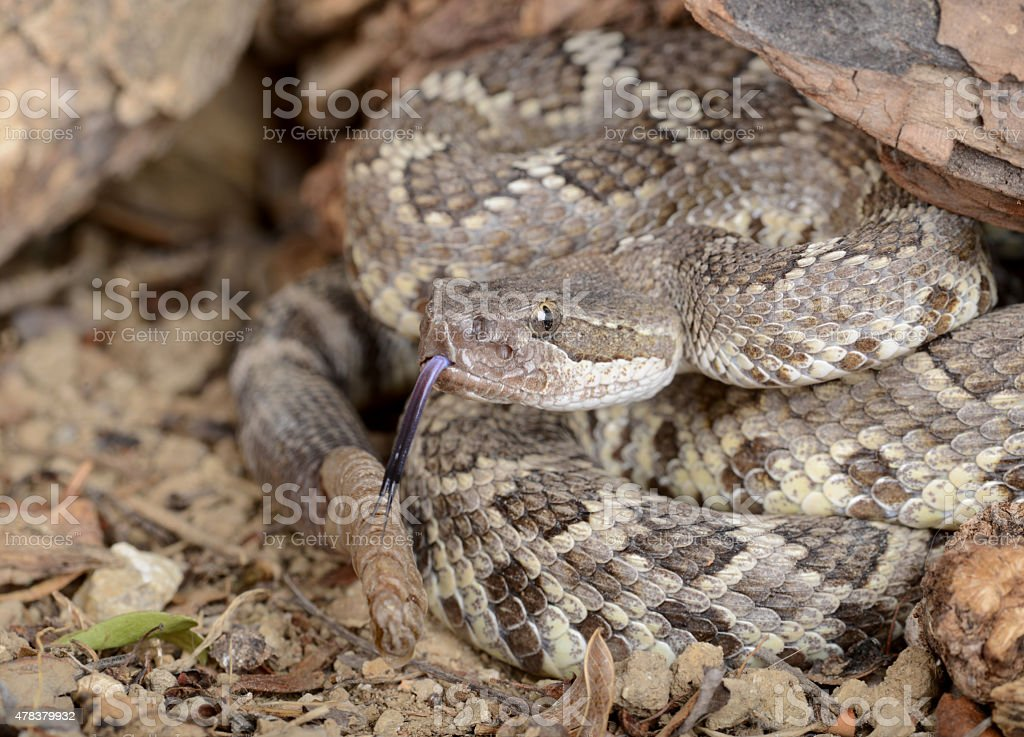 Southern Pacific Rattlesnake stock photo