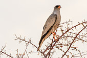 Southern pale chanting Goshawk perched in a tree