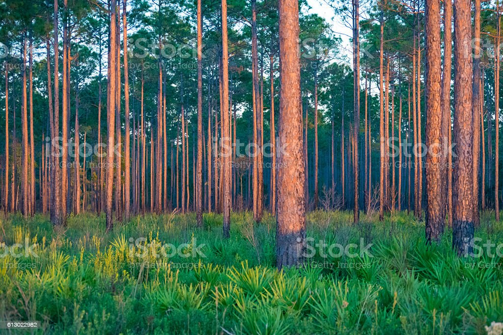 Southern Pine Forest stock photo