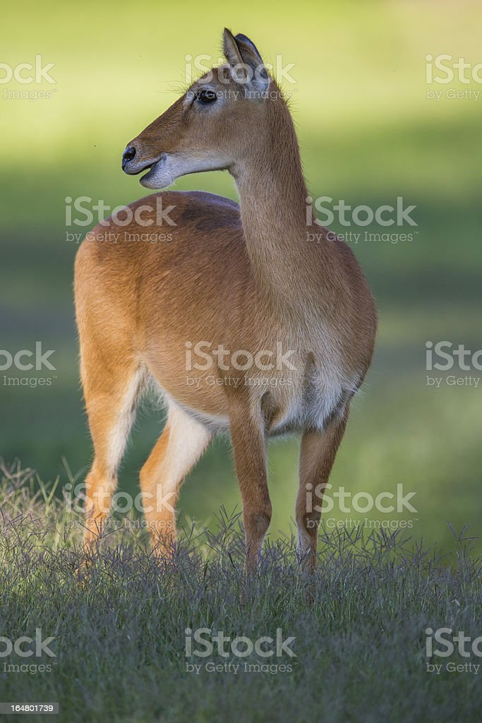 Southern Reedbuck in Africa royalty-free stock photo