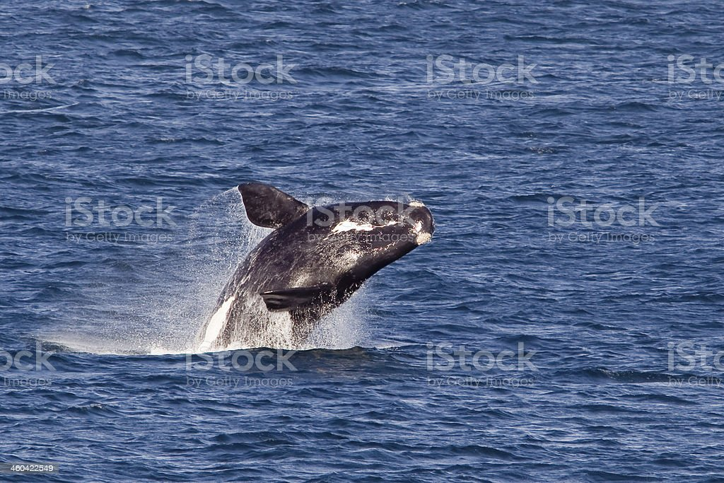 Southern right whale breaching stock photo