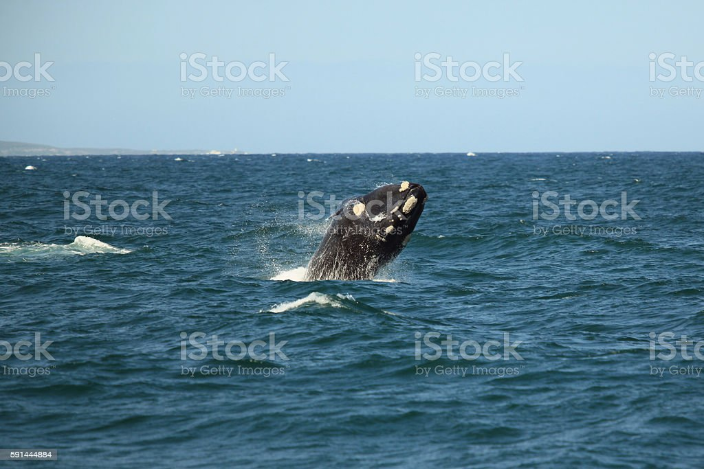 southern right whale jumping out of the water stock photo