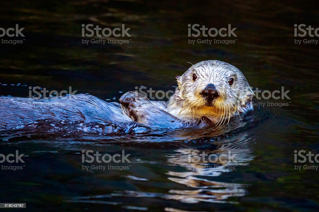 Southern Sea Otter stock photo