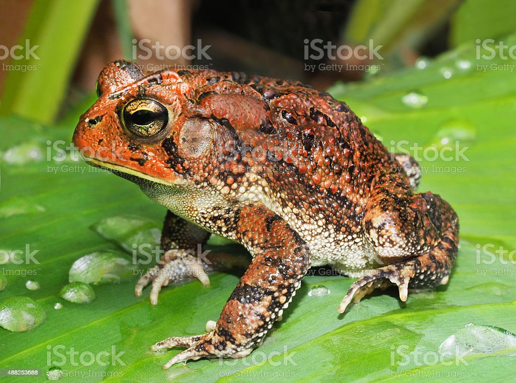 Southern Toad on Tropical Plant stock photo