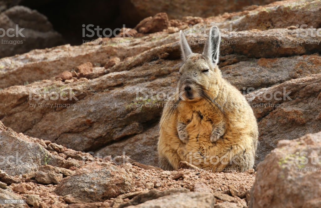 Southern Viscacha (Lagidium viscacia) in Siloli desert (bolivia) stock photo