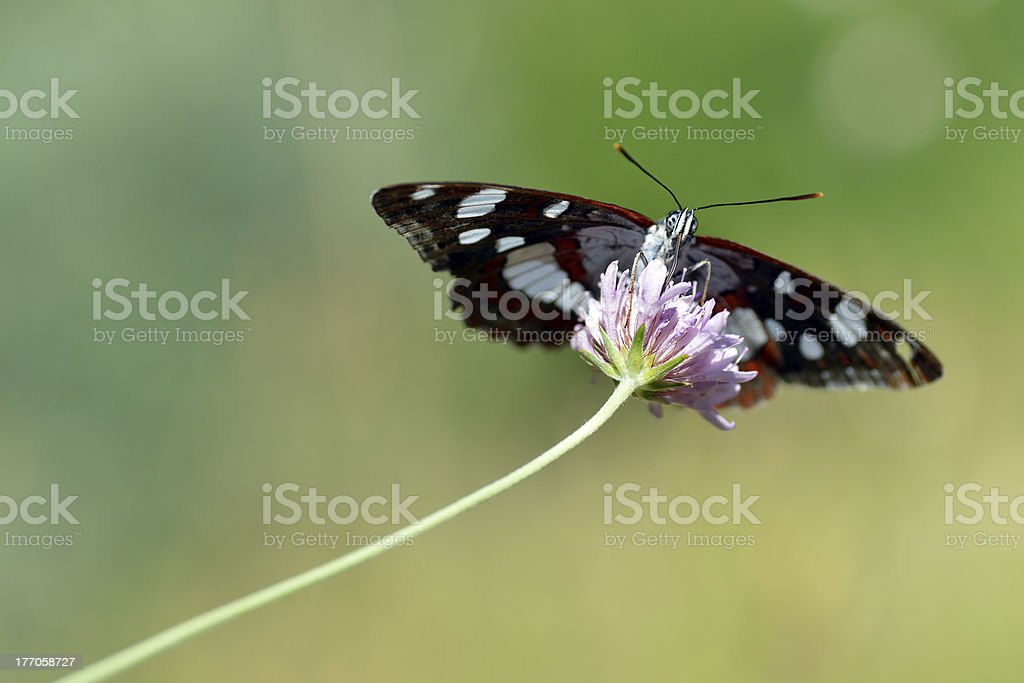 Southern White Admiral butterfly on flower royalty-free stock photo