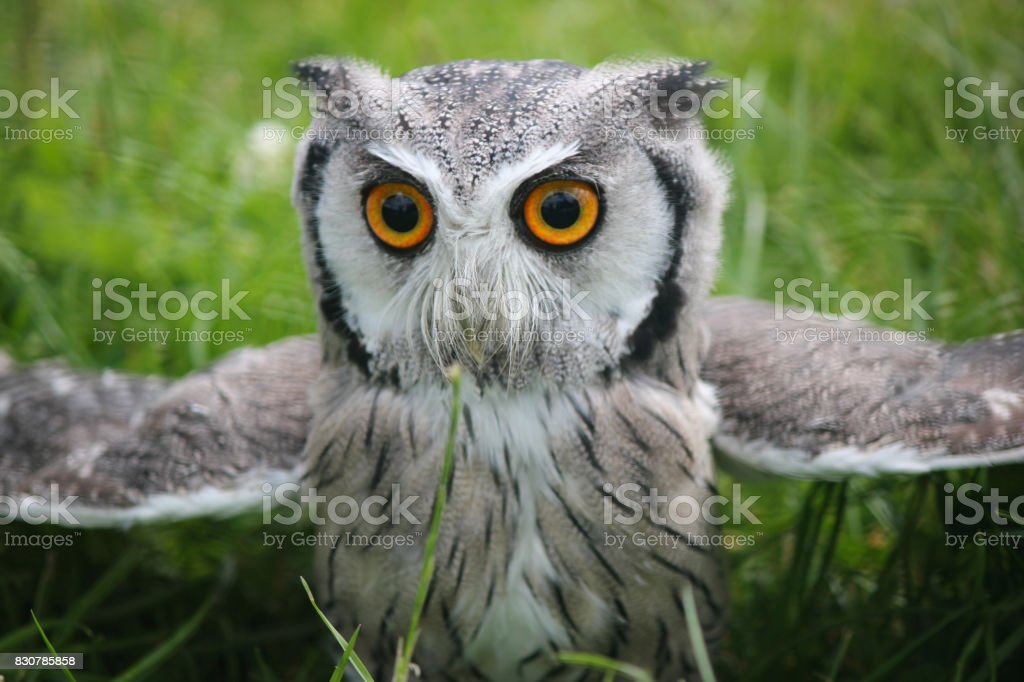 Southern White Faced Scops owl . Close up . Green natural grass background stock photo