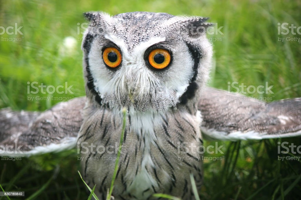 Southern white faced scops owl . Green grassy background . Closeup stock photo