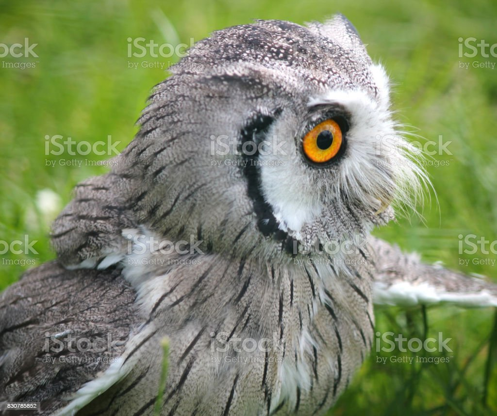 Southern white faced scops owl . Green natural background close up. stock photo