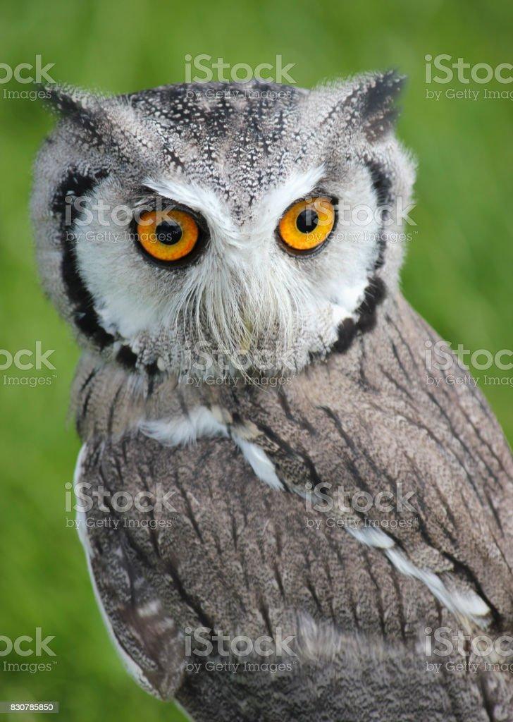 Southern white faced scops owl . Green natural grass background . Closeup . Bird of prey stock photo
