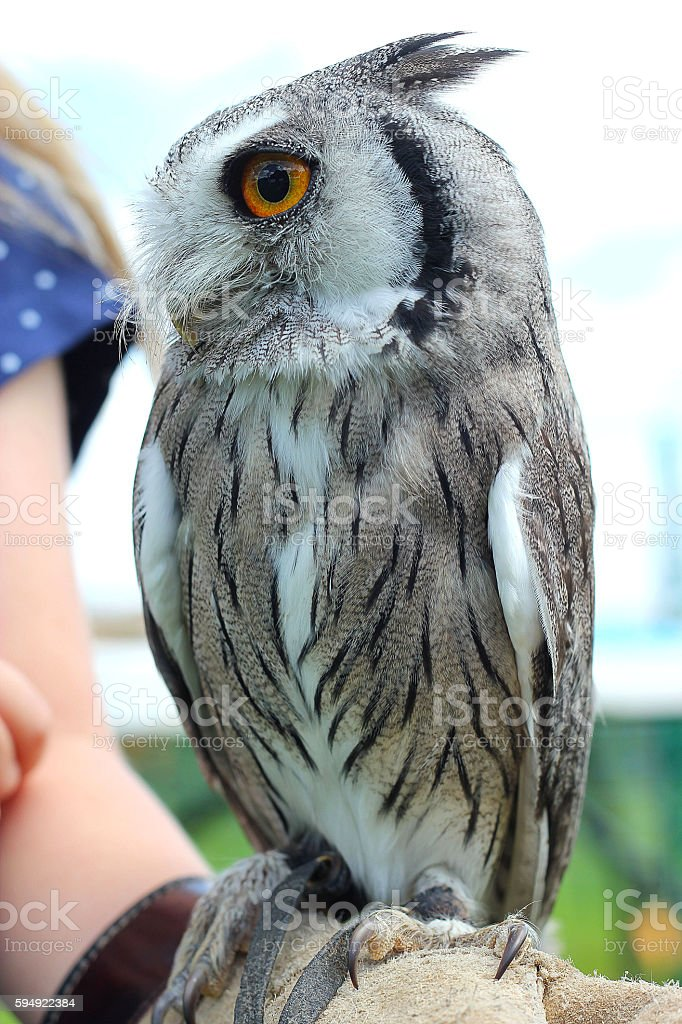 Southern White Faced Scops Owl(Male) stock photo