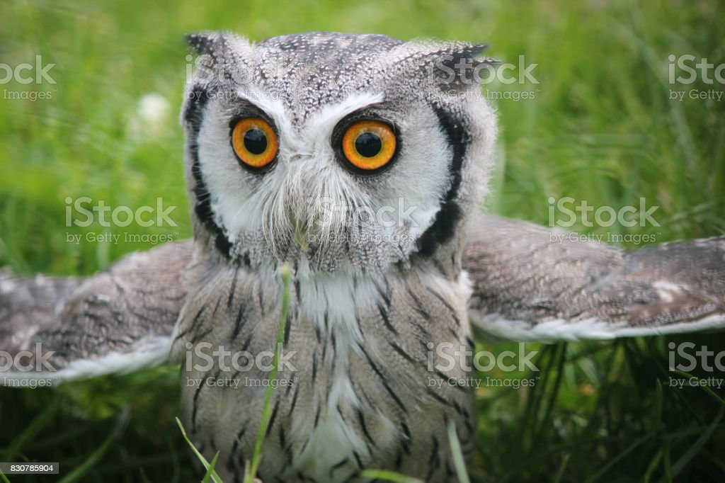 Southern white faced scops owl stock photo