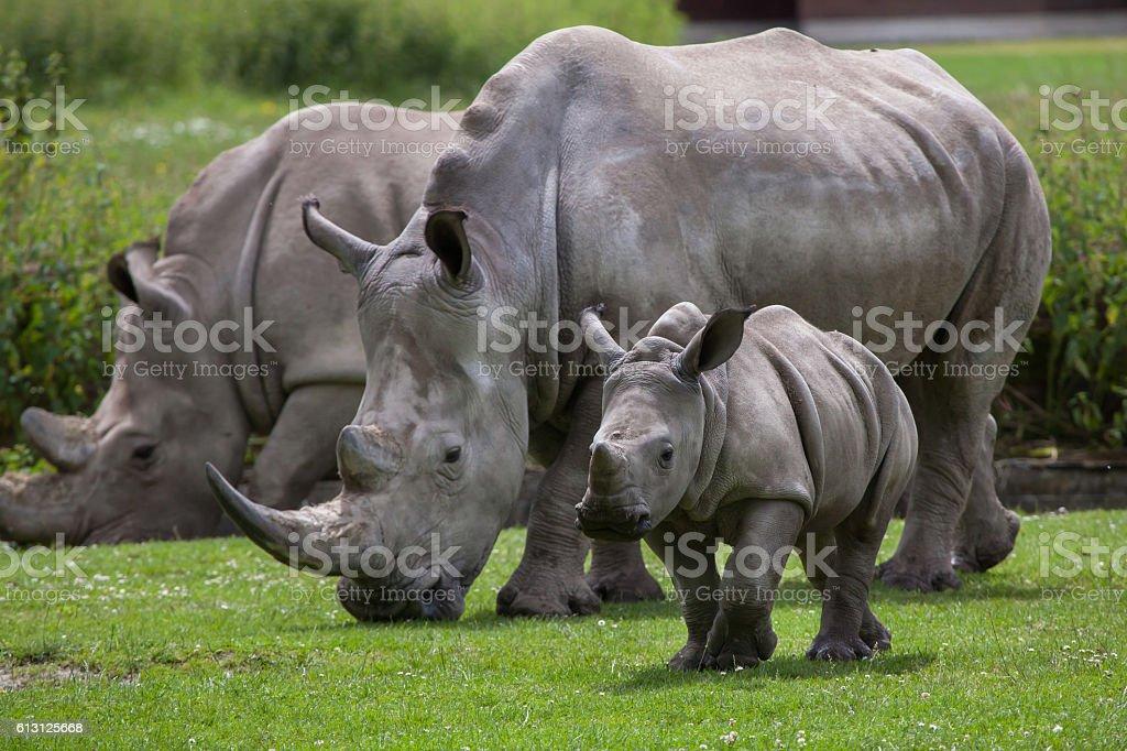 Southern white rhinoceros (Ceratotherium simum simum). stock photo
