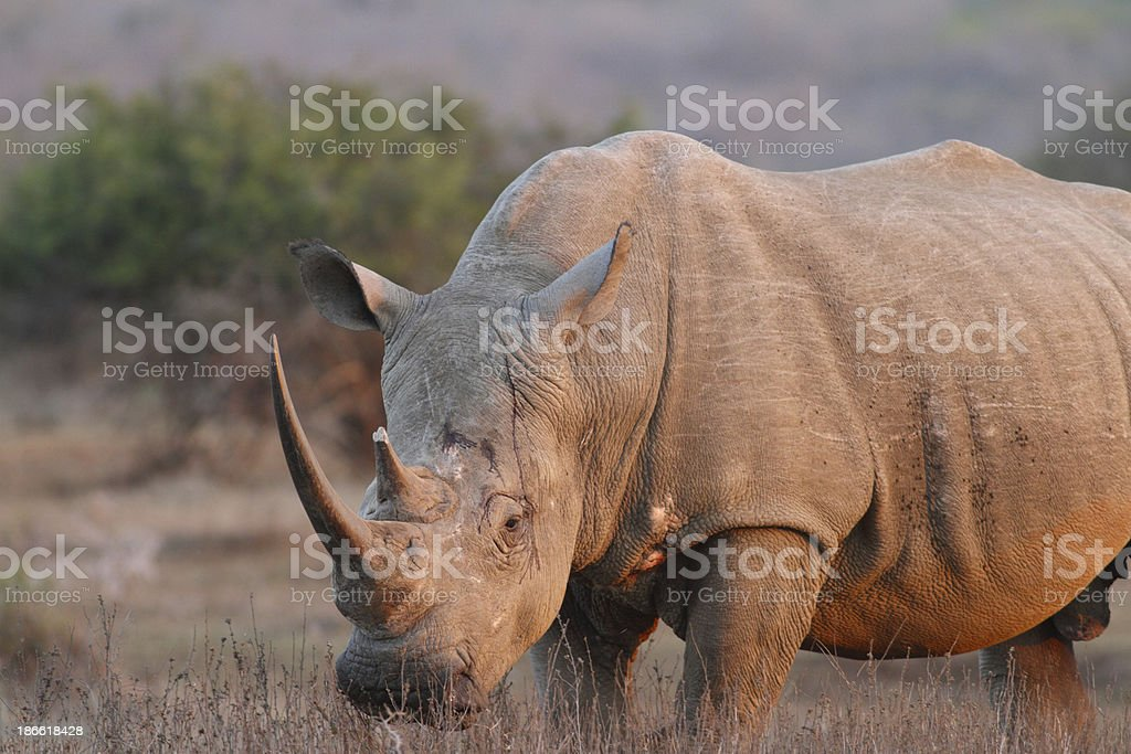 Southern white rhinocerous bull, large rhino horn at sunset stock photo