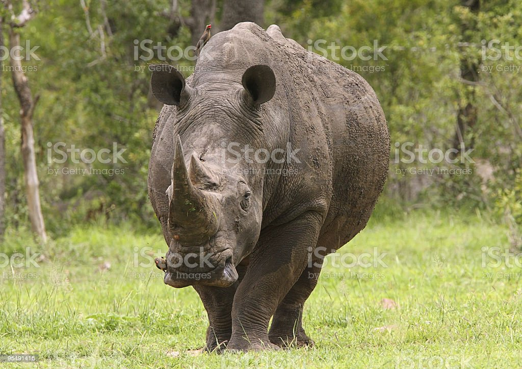 Southern white rhinocerous bull stock photo