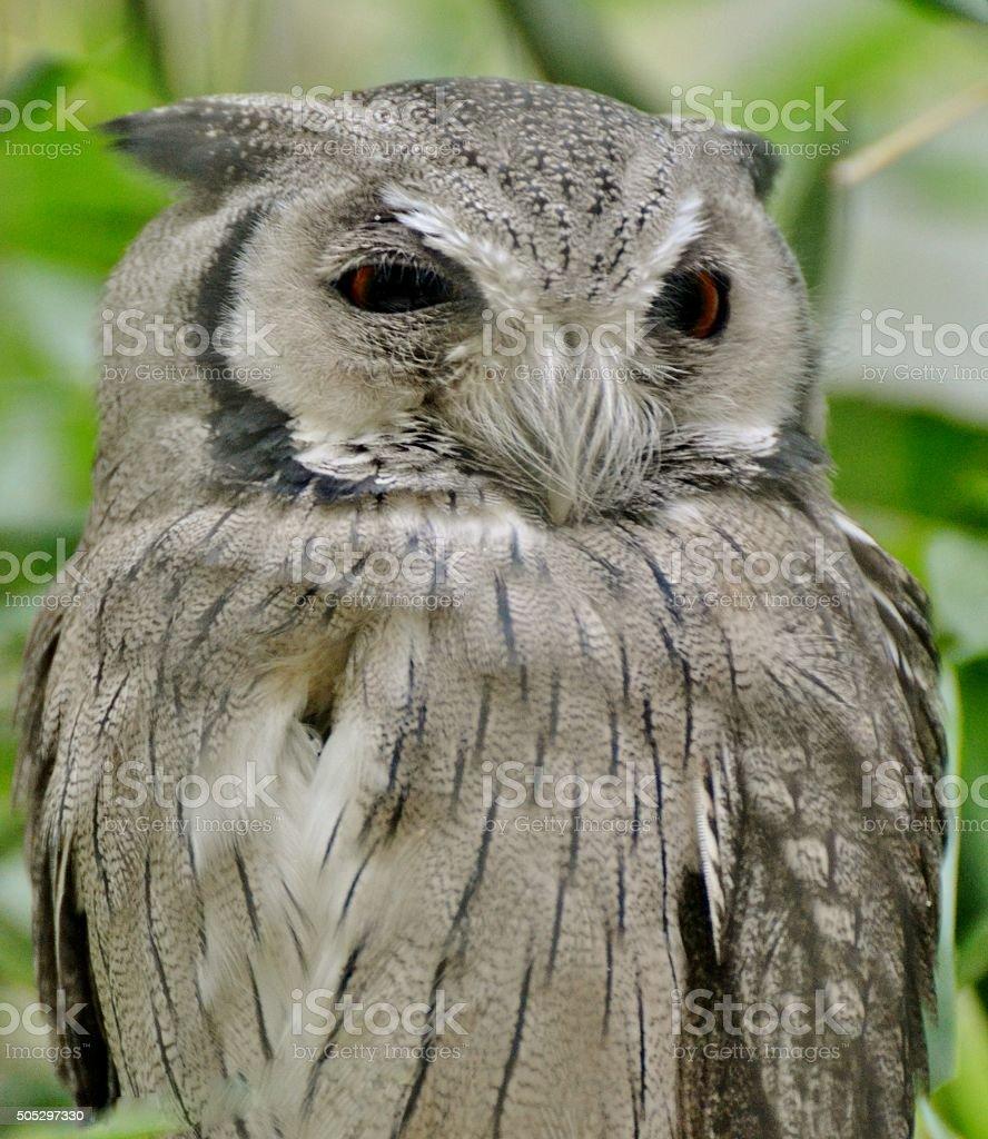 Southern White-faced Owl stock photo