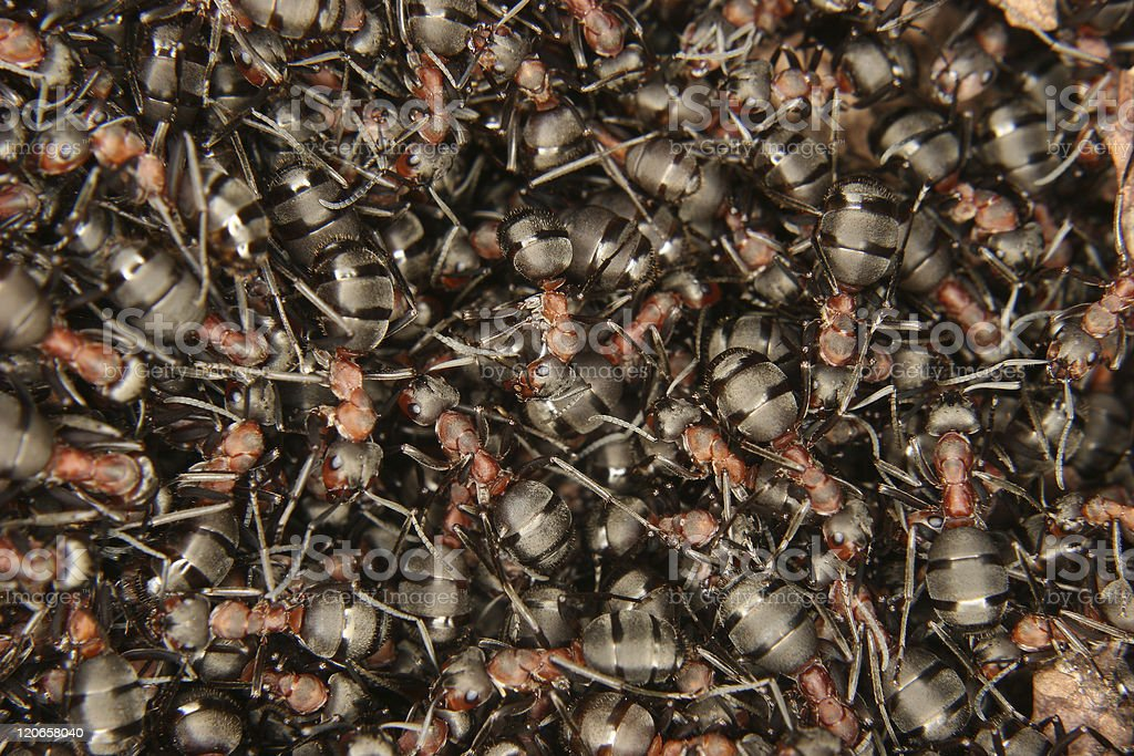 Southern wood ants (Formica rufa) stock photo