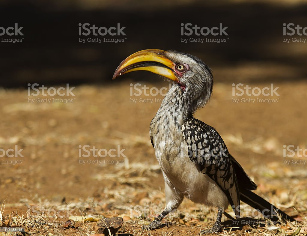 Southern yellow billed Hornbill taken from a nice low angle stock photo