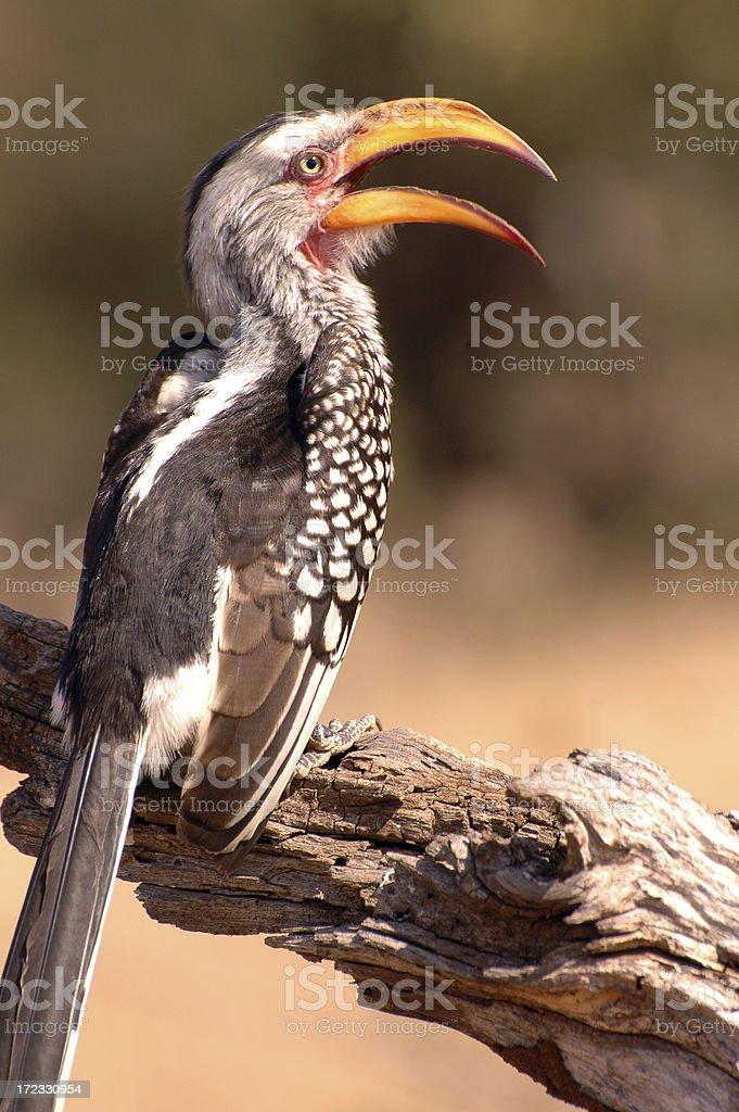 Southern Yellow Hornbill stock photo